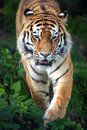 Siberian tiger stalking through undergrowth Stock Photo