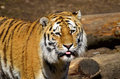 Siberian tiger sticks out his tongue Royalty Free Stock Images
