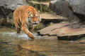 Siberian tiger in water Royalty Free Stock Photos