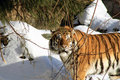 Siberian Tiger In Winter Forest Royalty Free Stock Photos