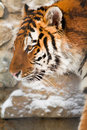 Siberian tiger in zoo Stock Images