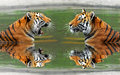 Siberian tigers big in water Royalty Free Stock Photography