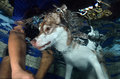 Siberisch husky swimming in de pool Royalty-vrije Stock Afbeeldingen