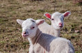 Siblings two sheep looking very happy Royalty Free Stock Images