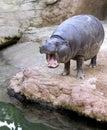 Sichernder Hippopotamus, der in einem spanischen Zoo gähnt oder brüllt Stockfoto