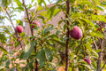 Sicilian plums picture of ripe in the fields in summer Stock Images