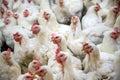 Sick chicken or Sad chicken in farm,Epidemic, bird flu. Royalty Free Stock Photo