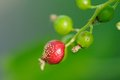 Sick Currant Berry Royalty Free Stock Photo