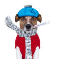 Sick dog with fever wit an ice bag on head Royalty Free Stock Images