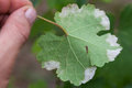 Sick grape leaf closeup of vine affected by downy mildew plasmopara vitikola rear view Royalty Free Stock Photos