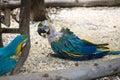 Chorý papagáj