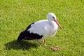 Sick white stork on grass Royalty Free Stock Photo