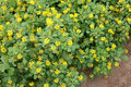 Sickle fruit fenugreek kasuri methi cultivated herb with trifoliate toothed leaves yellow flowers in terminal clusters and Royalty Free Stock Images