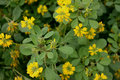 Sickle fruit fenugreek kasuri methi cultivated herb with trifoliate toothed leaves yellow flowers in terminal clusters and Royalty Free Stock Photos