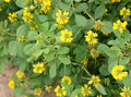 Sickle fruit fenugreek kasuri methi cultivated herb with trifoliate toothed leaves yellow flowers in terminal clusters and Stock Image