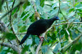 Sickle winged Guan Royalty Free Stock Photos