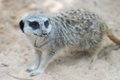 Side face portrait of a meerkat see my other works in portfolio Royalty Free Stock Photo