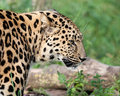 Side Head Shot of Amur Leopard Stock Photos