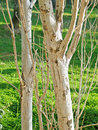 Side-lit Tree Trunks Stock Photography