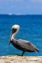 Side of little white black pelican whit eye in rock republica dominicana la romana Royalty Free Stock Photos