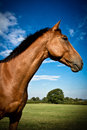 Side ortrait of a horse with blue skies beautiful portrait in summer Royalty Free Stock Image