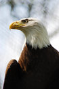 Side Portrait Bald Eagle (Haliaeetus Leucocephalus) Stock Image
