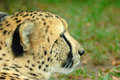 Side portrait of cheetah Stock Photo