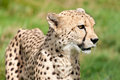 Side Portrait of Cheetah Against Grass Stock Photos