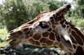 Side portrait of giraffe Royalty Free Stock Image