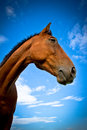 Side portrait of a horse with blue skies and clouds beautiful in summer Stock Photos