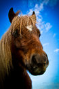 A side portrait of a shetland pony with blue skies and clouds beautiful in summer Royalty Free Stock Images