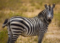 Side portrait of zebra Royalty Free Stock Photography