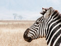 Side Portrait of a Zebra Royalty Free Stock Photo