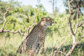 Side profile of a Cheetah on the look out. Royalty Free Stock Photo