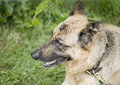 Side profile of german sheppard dog Royalty Free Stock Images