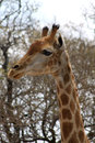 Side profile picture of giraffe head the a large grown Royalty Free Stock Image