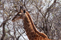 Side profile picture of giraffe head the a large grown Royalty Free Stock Images