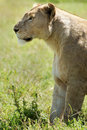 Side shot lioness propped front legs looking to left shot ngorongoro crater tanzania Stock Image