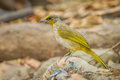 Side of stripe throated bulbul bird in nature Stock Images