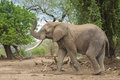 Side view of an african elephant bull with trunk up loxodonta africana Stock Photos