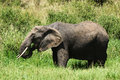 Side view african elephant eating grass Royalty Free Stock Photos