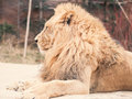 Side view from big male lion sit on floor with soft focus forest Royalty Free Stock Photo
