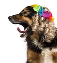 Side view of a border collie with a blond wig yawning isolated on white Stock Photo