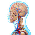 Side view of circulatory system of head skeleton d art illustration Stock Photos