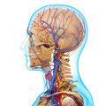 Side view of circulatory system of head skeleton d art illustration Stock Image