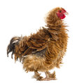 Side view of Crossbreed rooster Stock Image
