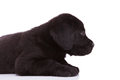 Side view cute black labrador retriever puppy dog looking very tired Stock Photo