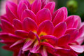 Side view of dahlia flower petals an array rich pink and yellow patterned to perfection a perennial favourite in home and public Royalty Free Stock Photo