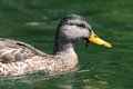 Side view of female mallard duck swimming on water Royalty Free Stock Images