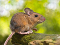 Side view of a field mouse apodemus sylvaticus on a branch the forest floor in it s natural habitat Stock Photography